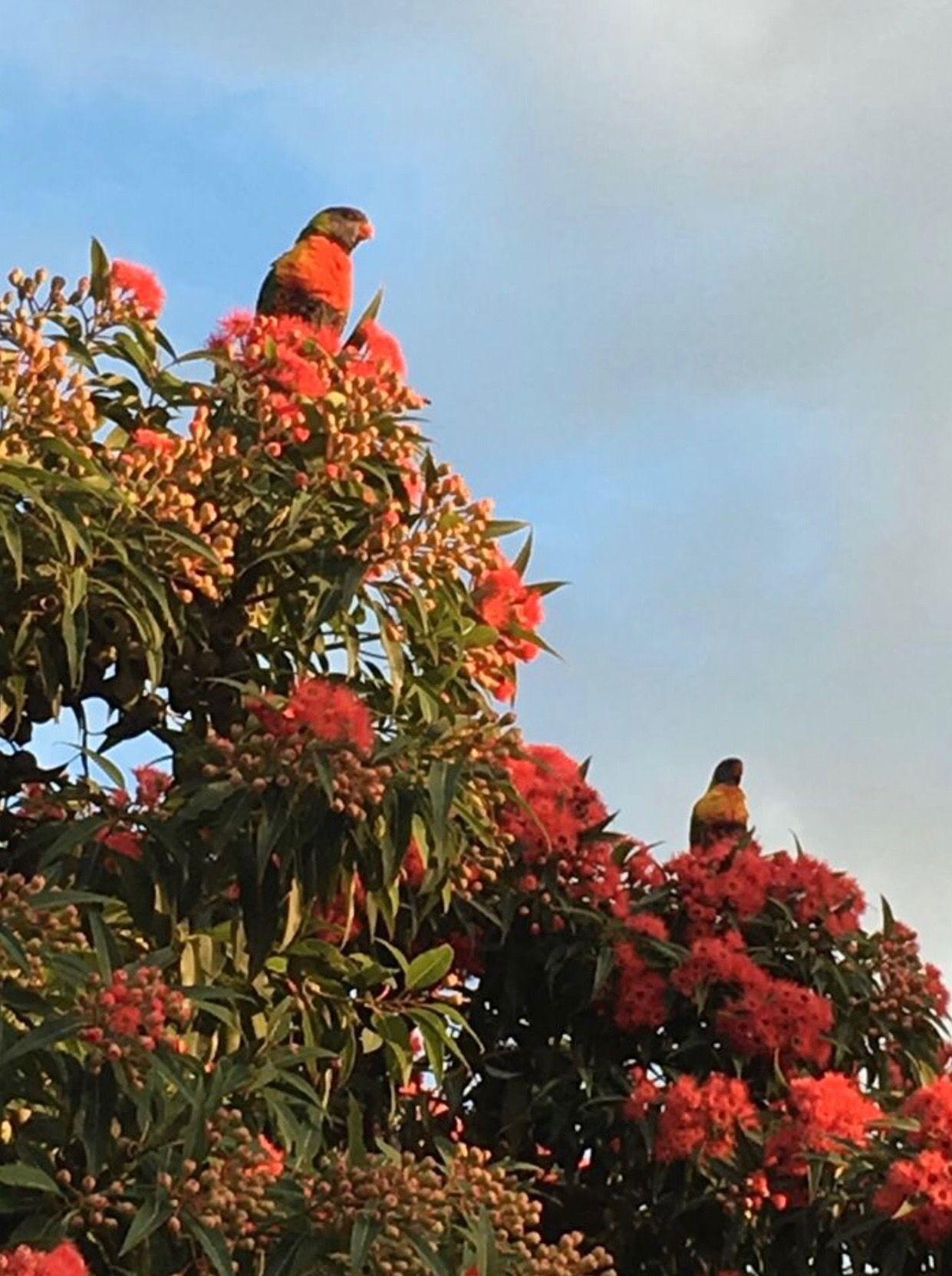 Rainbow lorikeets on red flowering eucalyptus (gum) trees
