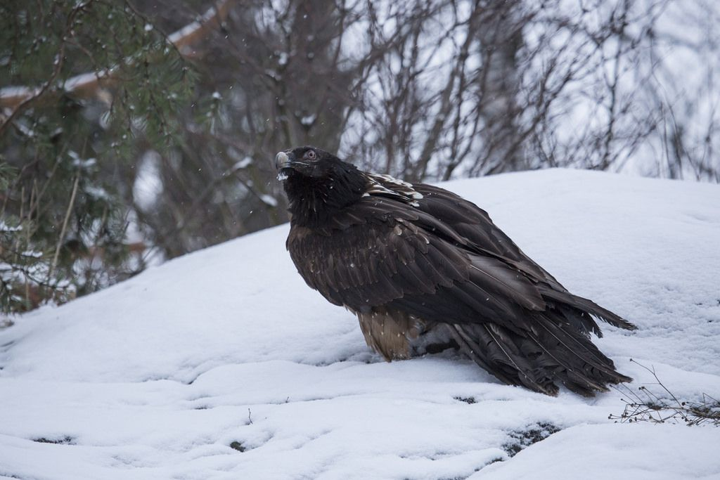 Young bearded vulture