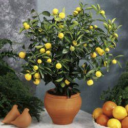 huerta macetas hortaliza frutas limonero plantas vegetales estrellas terrazas