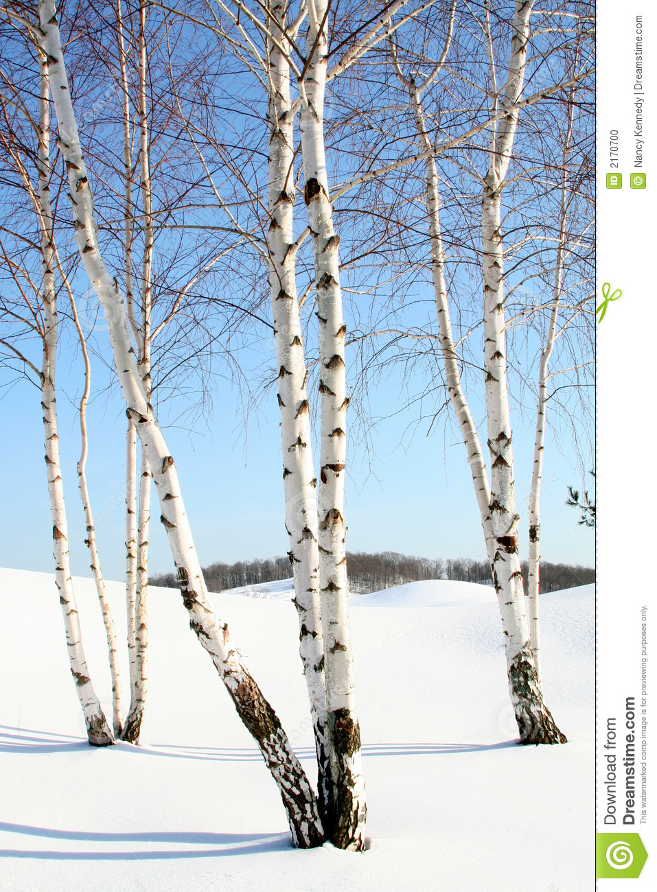 Photo about Several stands of birch trees in the snow. Image of tranquil, landsc…