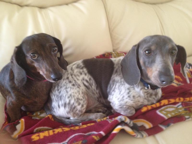 Adopt Penny Fl On Adoptable Dachshund Dog Dachshund Dog