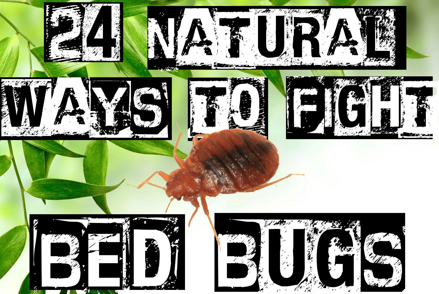 Getting Rid Of Bed Bugs A Comprehensive Guide To Getting Rid Of Bed Bugs Without