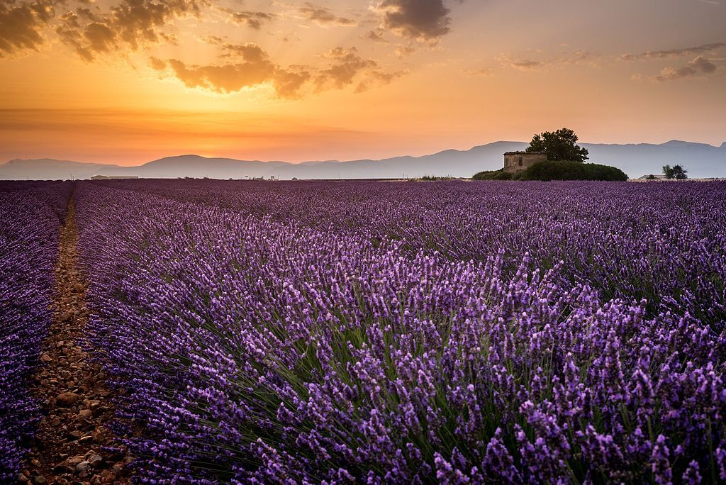 5 lavender farms across the world that'll help you relax, get back