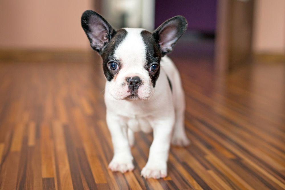 FranzoesischeBulldoggenWelpenbesonderssuess.jpg 1.000