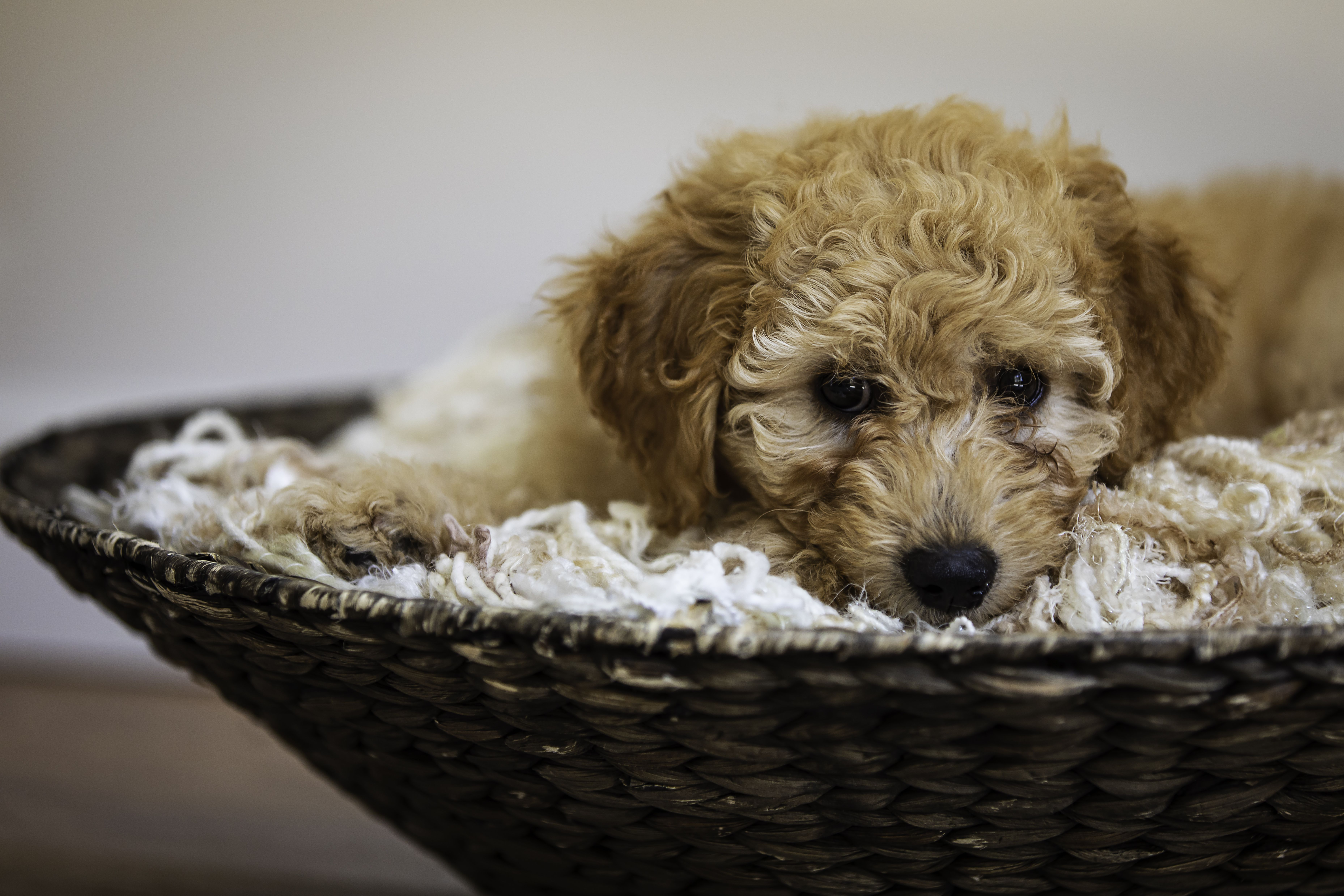 Golden doodle puppy dog (With images) Goldendoodle puppy