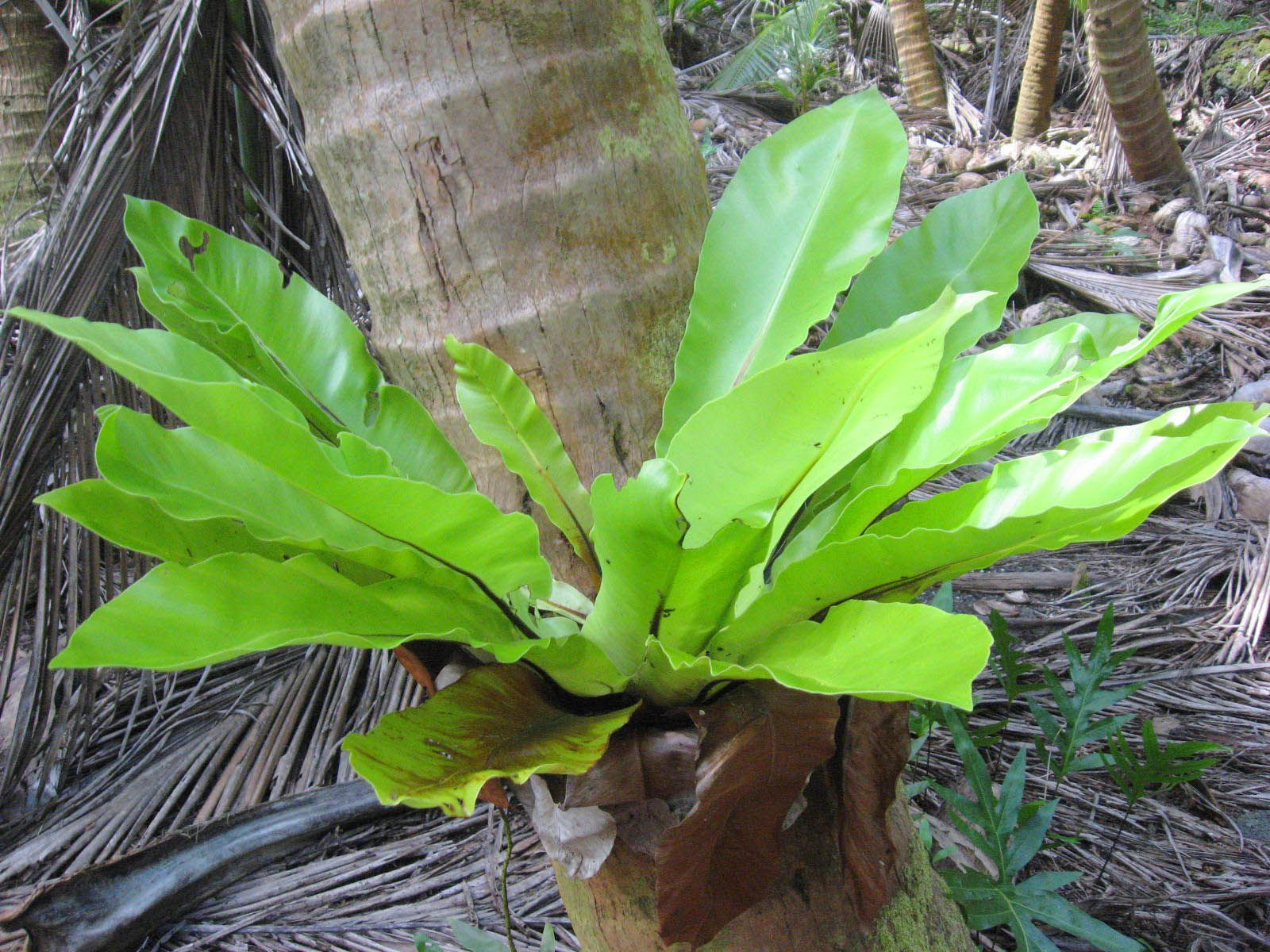 Bird's nest fern found high on top of a coconut palm tree
