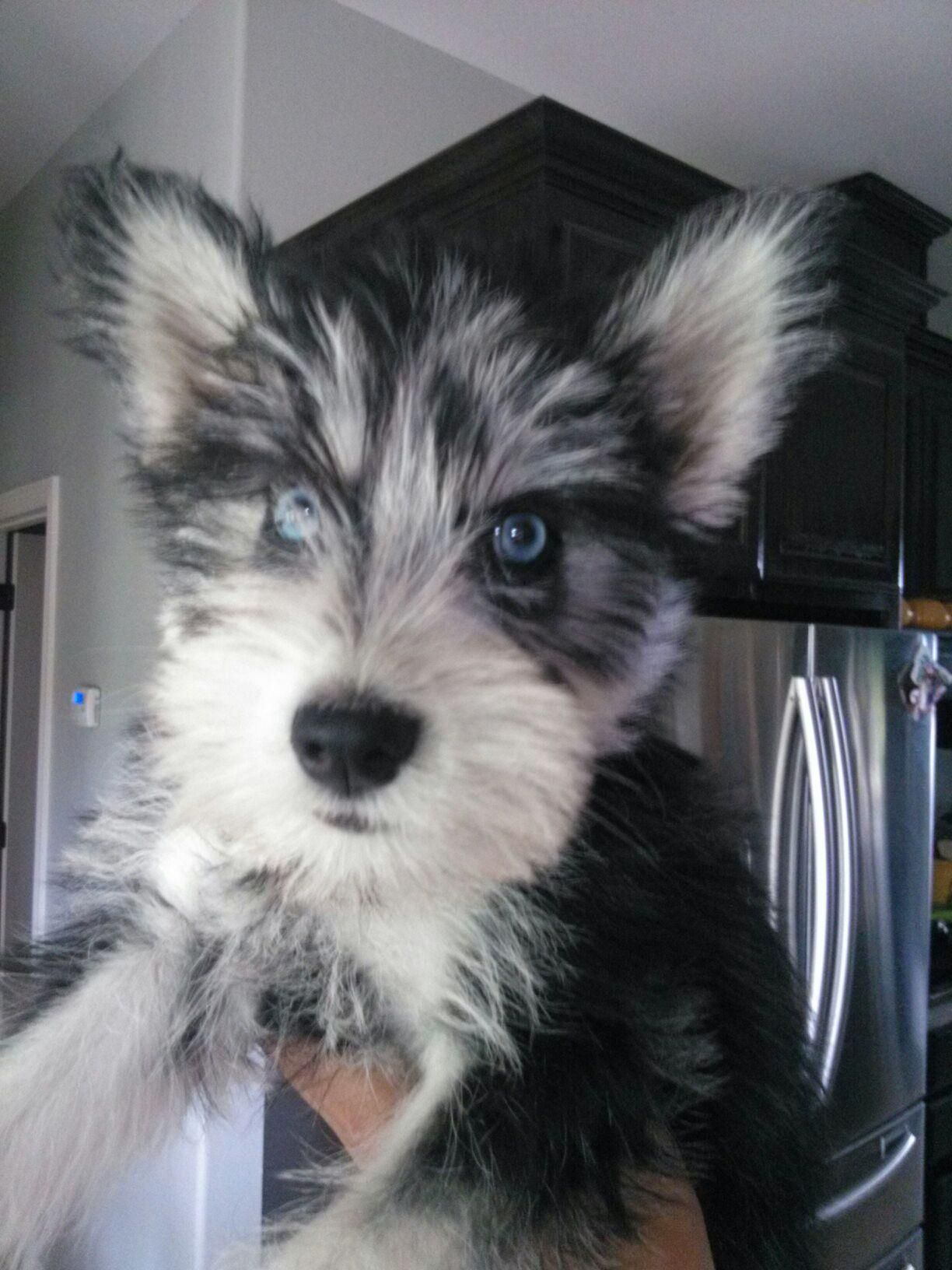 Husky And Schnauzer Mix Too Cute For Words To Describe