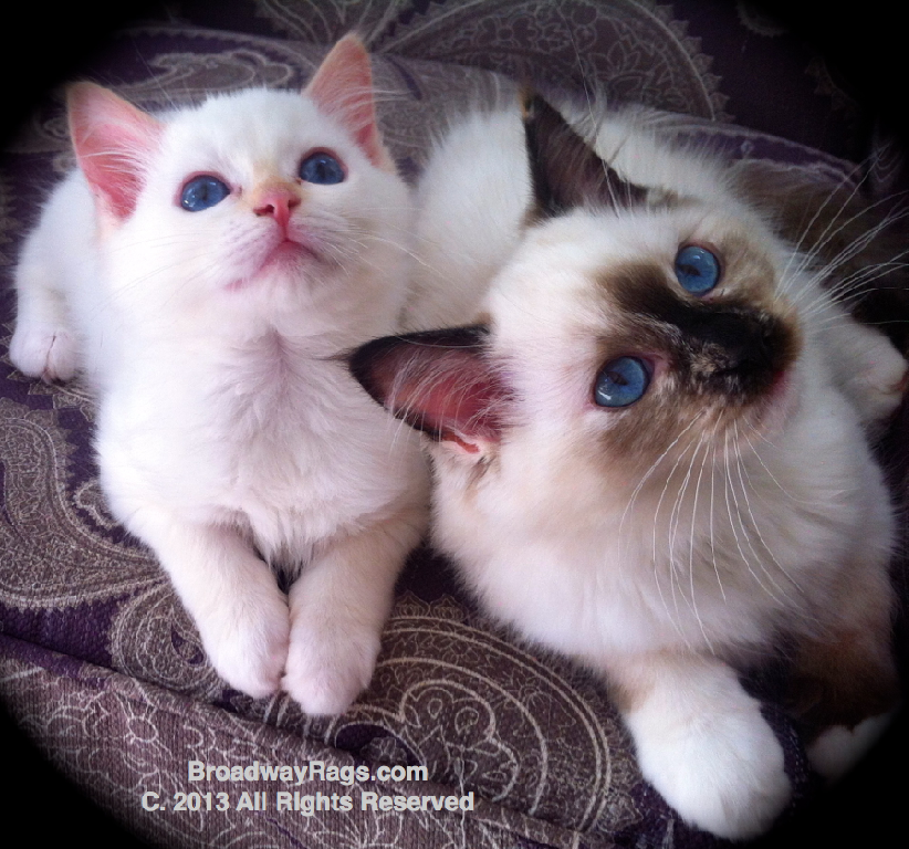 Ragdoll Kitten For Sale Nyc New York New Jersey Connecticut Pennsylvania Ragdoll Kitten Kitten For Sale Why Do Cats Purr