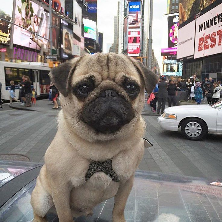 Look Out New York City Itsmoosethepug Has Arrived Want To Be
