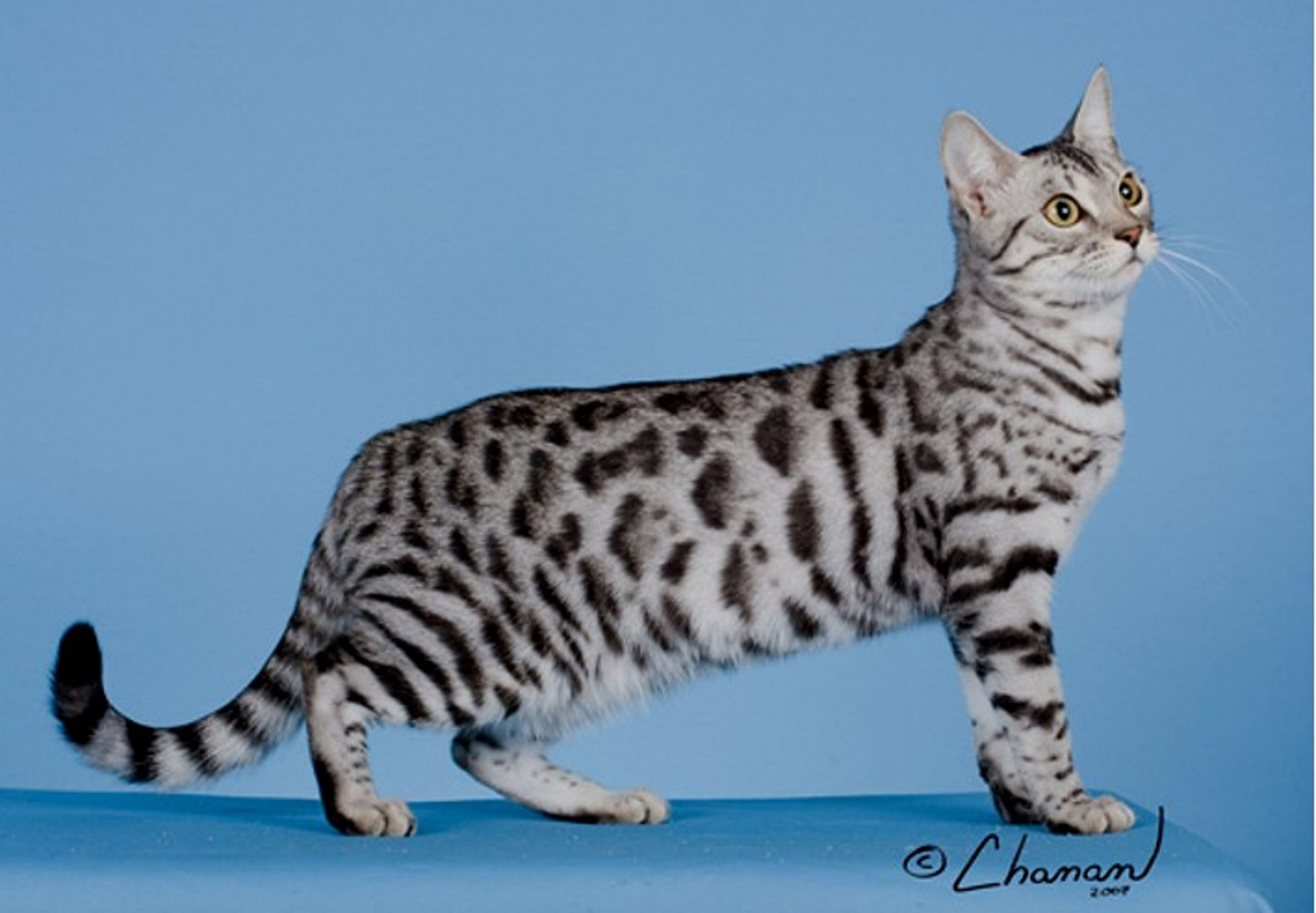 Black Silver Spotted Tabby Bengal Bengal cat, American