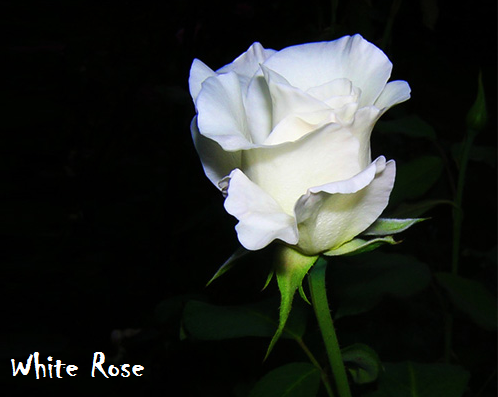 94+ Gambar Bunga Mawar Putih Paling Cantik