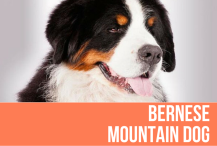 Bernese Mountain Dog American Kennel Club Favorite Dog