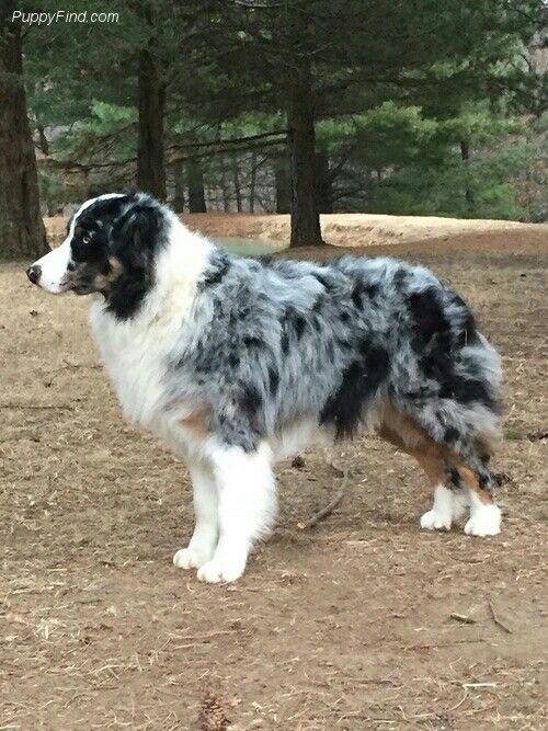 Pin By Dog Lover 4 Dog Lovers On Dog Breeds Australian Shepherd