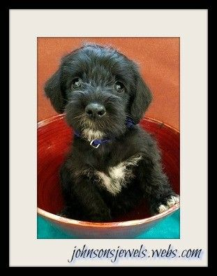 Schnoodle Puppy For Sale Schnoodle Puppies For Sale Schnoodle
