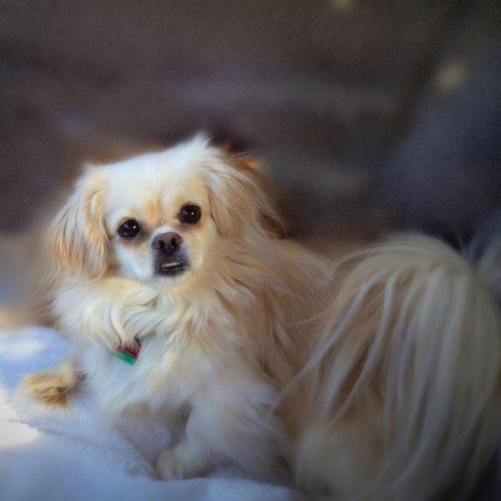 Tibetan Spaniel dog for Adoption in Little Rock, AR. ADN