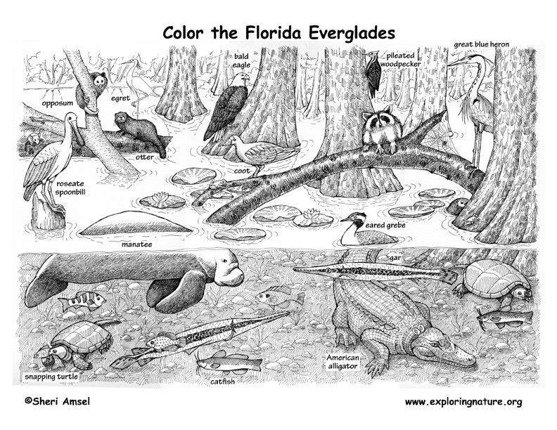 Florida Animals, Habitats, Activities & Symbols Animal