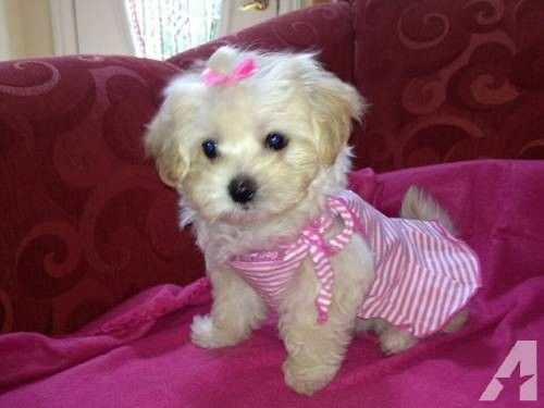 Very Rare Fawn Colored Maltipoo Puppies Maltipoo Puppies For