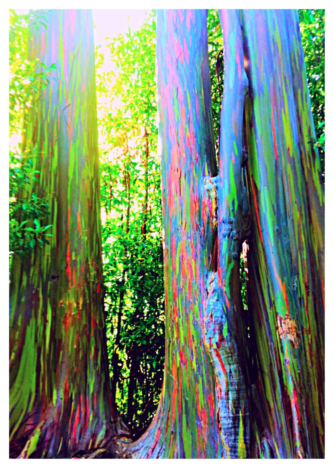 Rainbow Eucalyptus in Hana - Maui, Hawaii. The phenomenon is caused ...