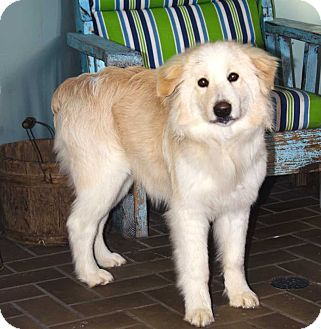 Allentown Pa Australian Shepherd Great Pyrenees Mix Meet Puppy