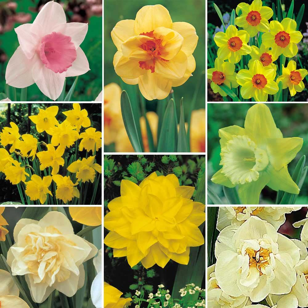 Daffodil aka narcissus and jonquil symbolizes rebirth and new daffodil aka narcissus and jonquil symbolizes rebirth and new beginnings and synonymous with buycottarizona