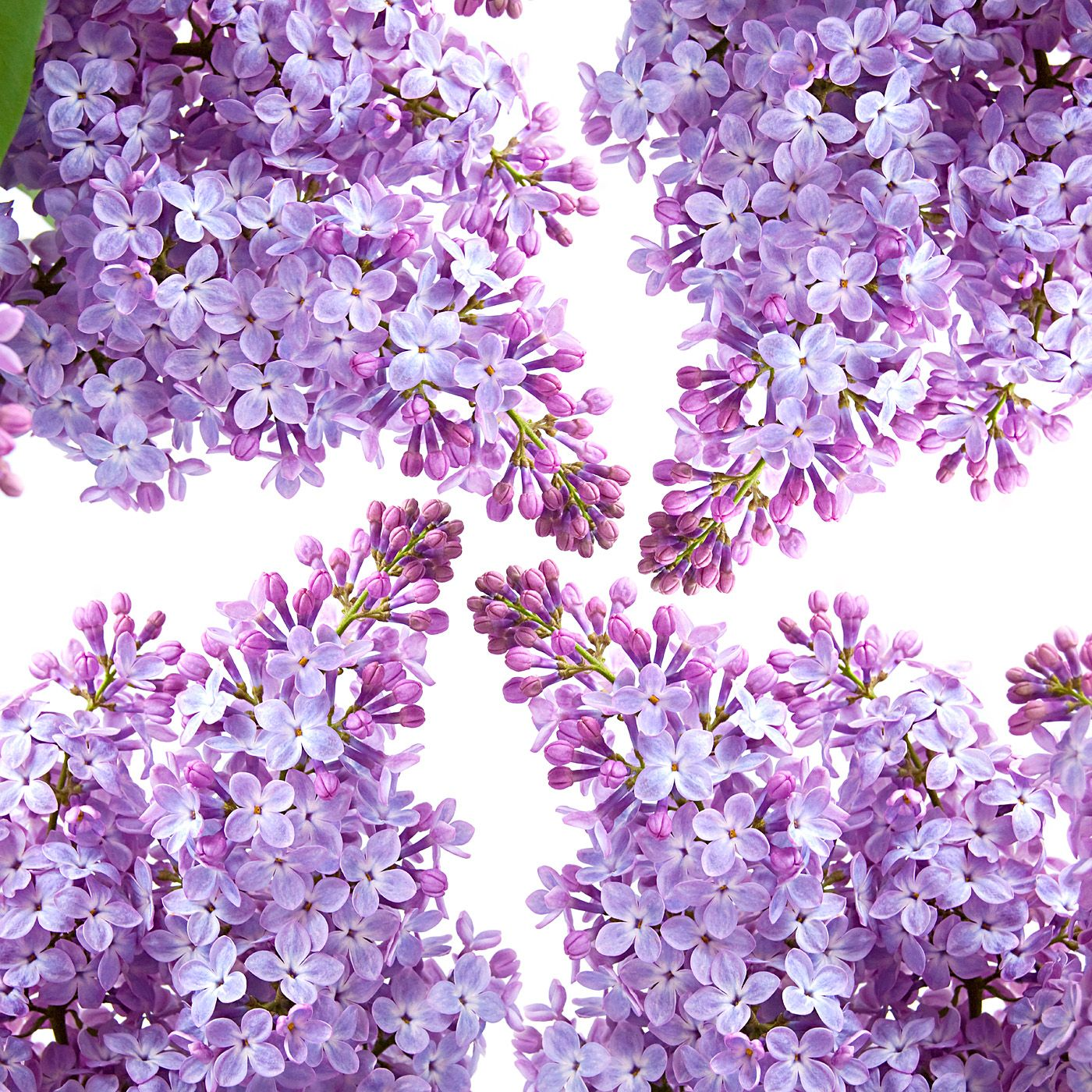 Lilac 46711 Flower wallpaper, Purple flower background