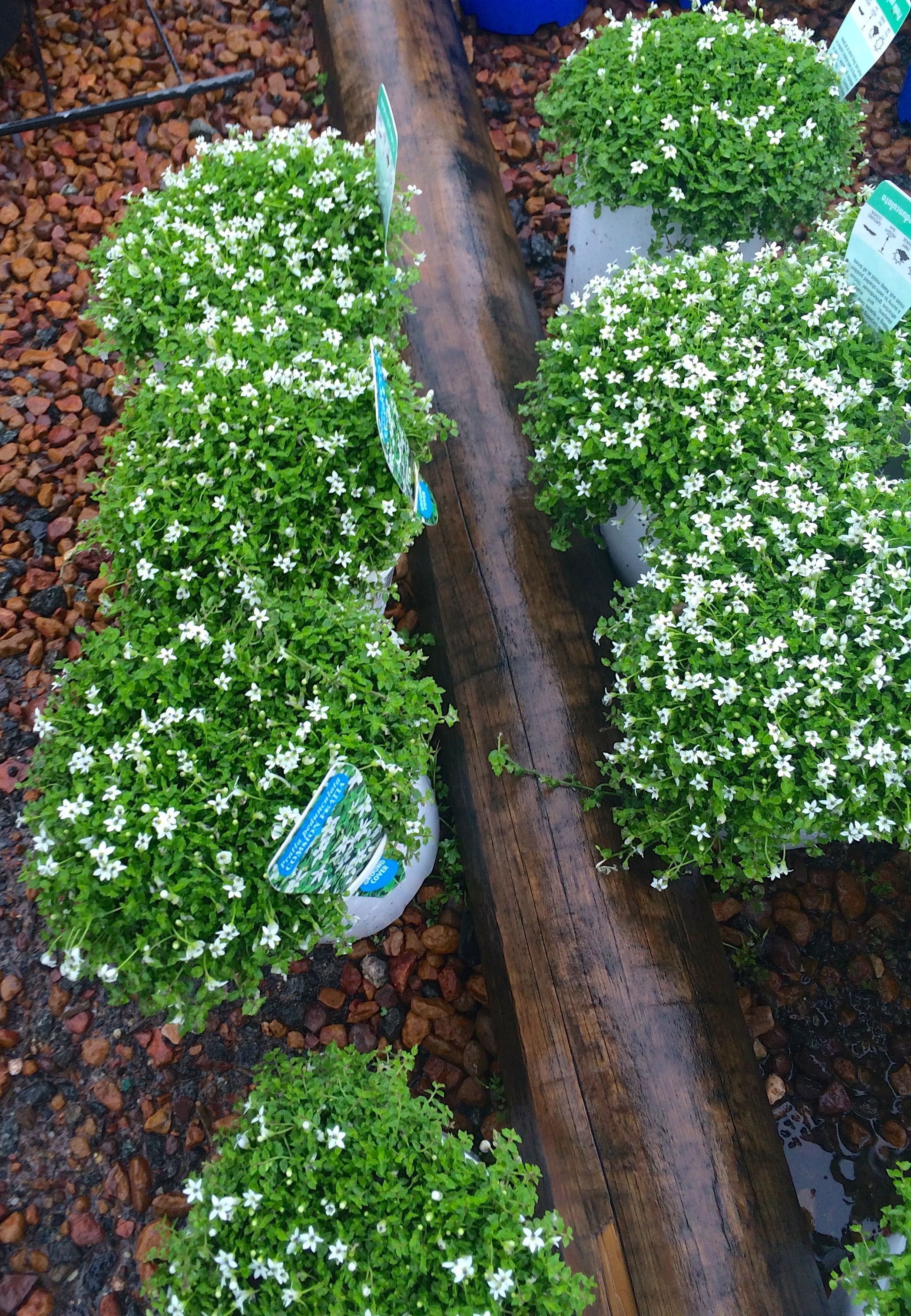 Pratia pedunculata Pretty ground cover Sydney Australia