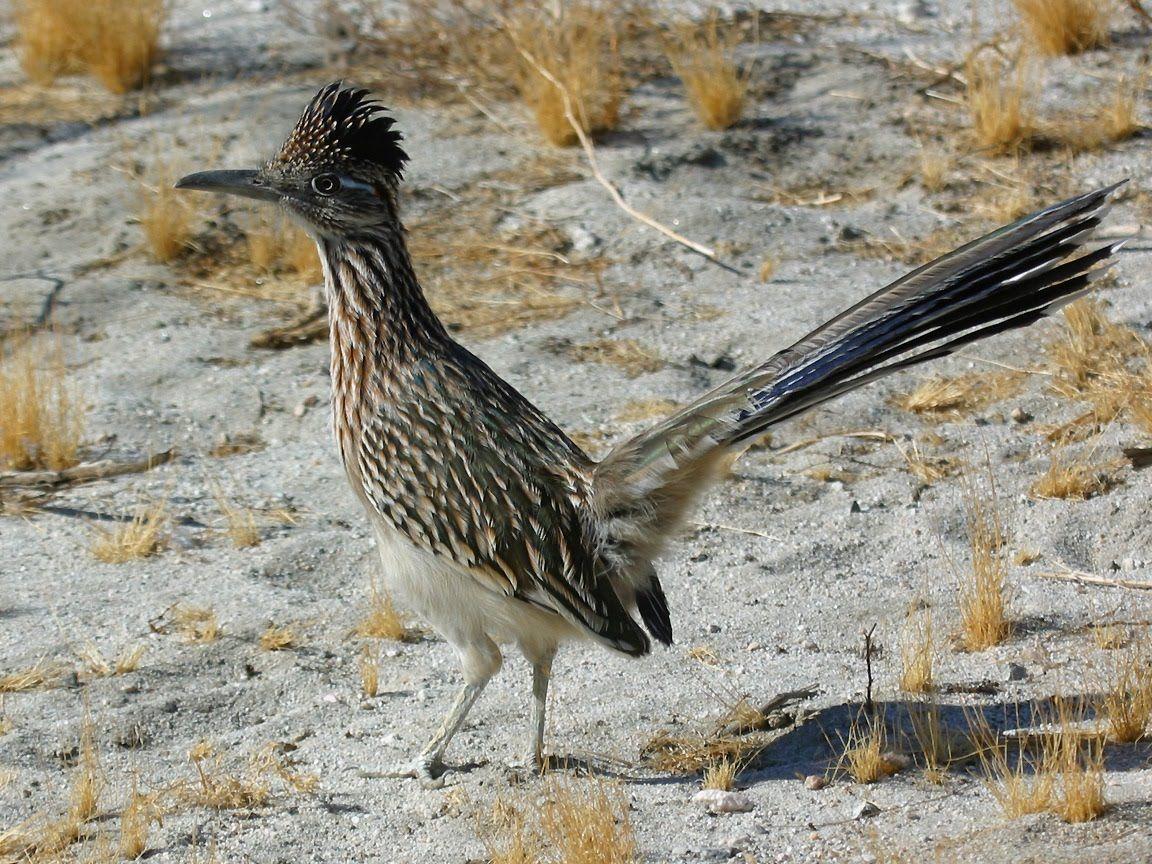 Oklahoma Wildlife A Roadrunner Identical To This Pecks