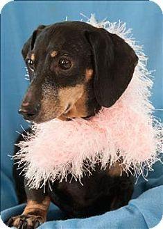 Vancouver Wa Dachshund Meet Missy A Dog For Adoption Meet