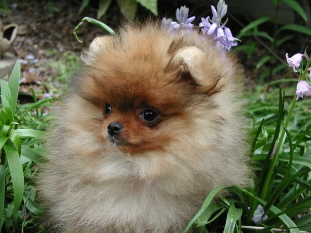 Fb Canadian Sunset Pomeranian Puppy Pomeranian Puppy For Sale Cute Animals