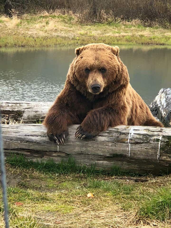 Alaskan Bear and Wildlife #bears