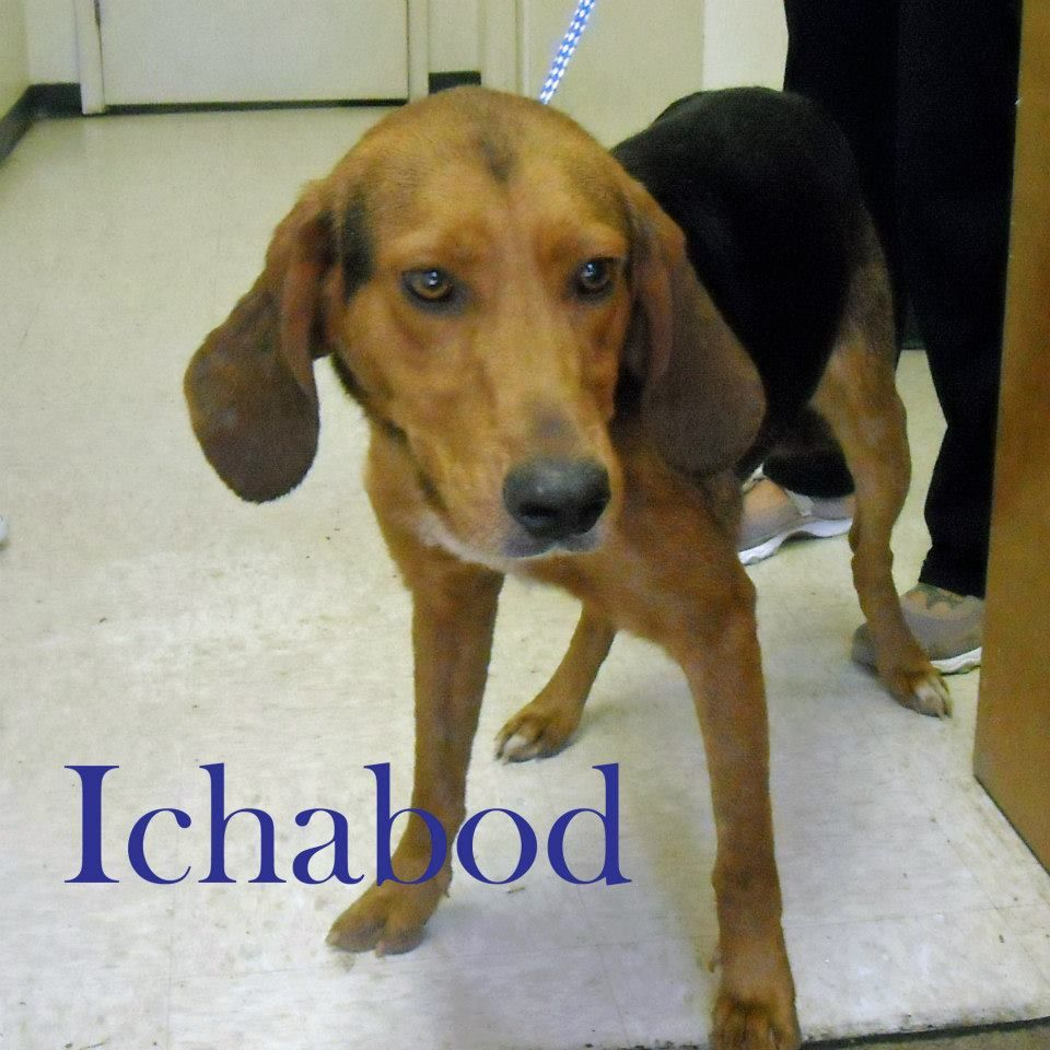 Black Tan Coonhound M 1 2 Years Named Ichabod In Roanoke Rapids Nc Halifax County Animal Shelter Animal Shelter Roanoke Rapids Coonhound