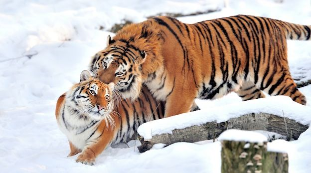 This Article Talks About Tigers Mating Habits This Helps