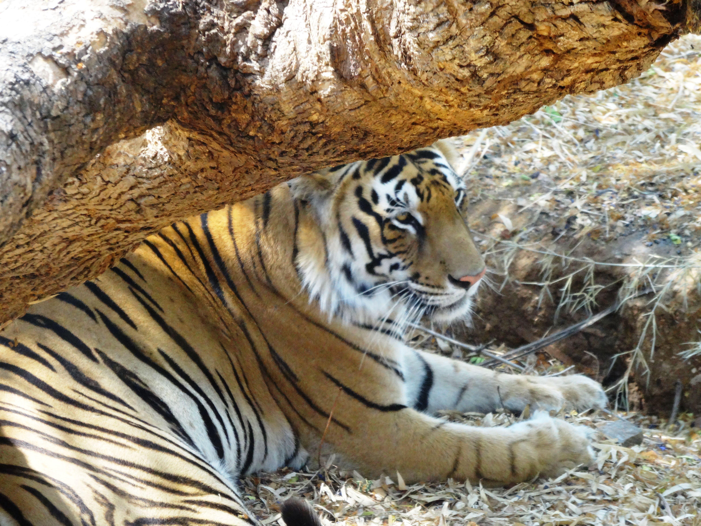 Bengali tiger. Bannerghatta National Park, Bangalore