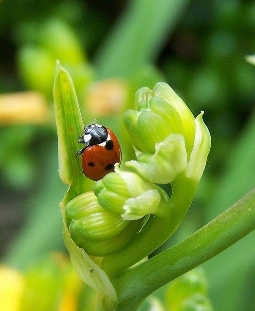 Seven-spotted Ladybug by georgiaangel24, via Flickr