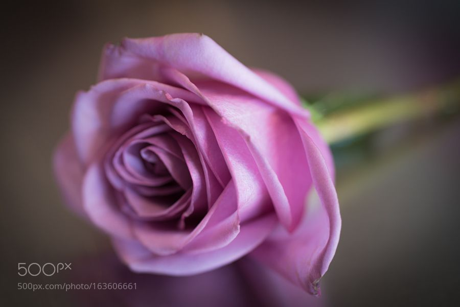 Rose by KevinDrewDavis
