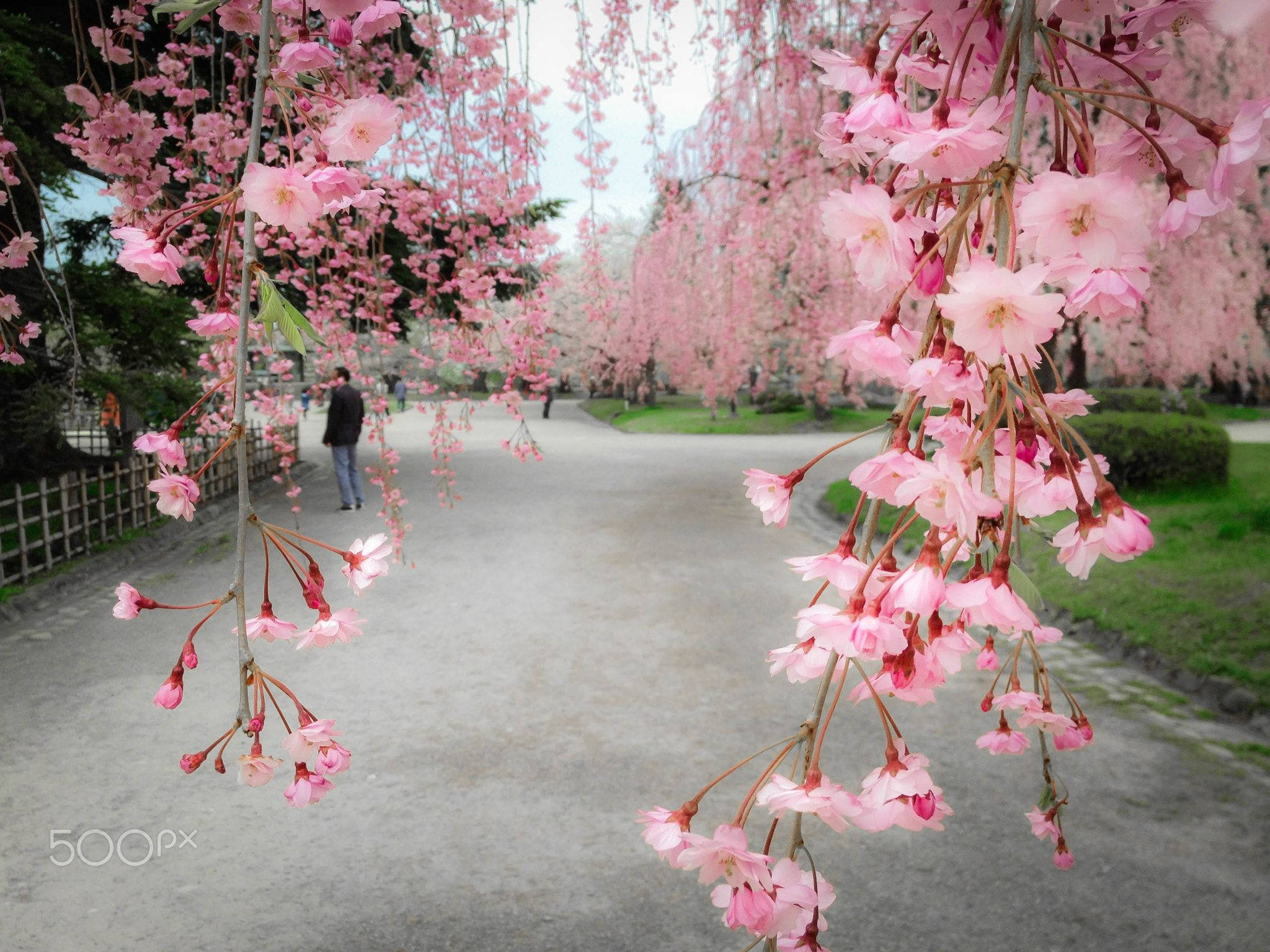 Cherry Shower The Most Famous Cherry Blossoms In Japan Hirosaki Castle Since 1903 Cherry Tree Planti Cherry Blossom Japan Trees To Plant Hirosaki
