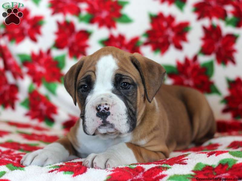 Webster, Boxer puppy for sale in Honeybrook, Pa Boxer