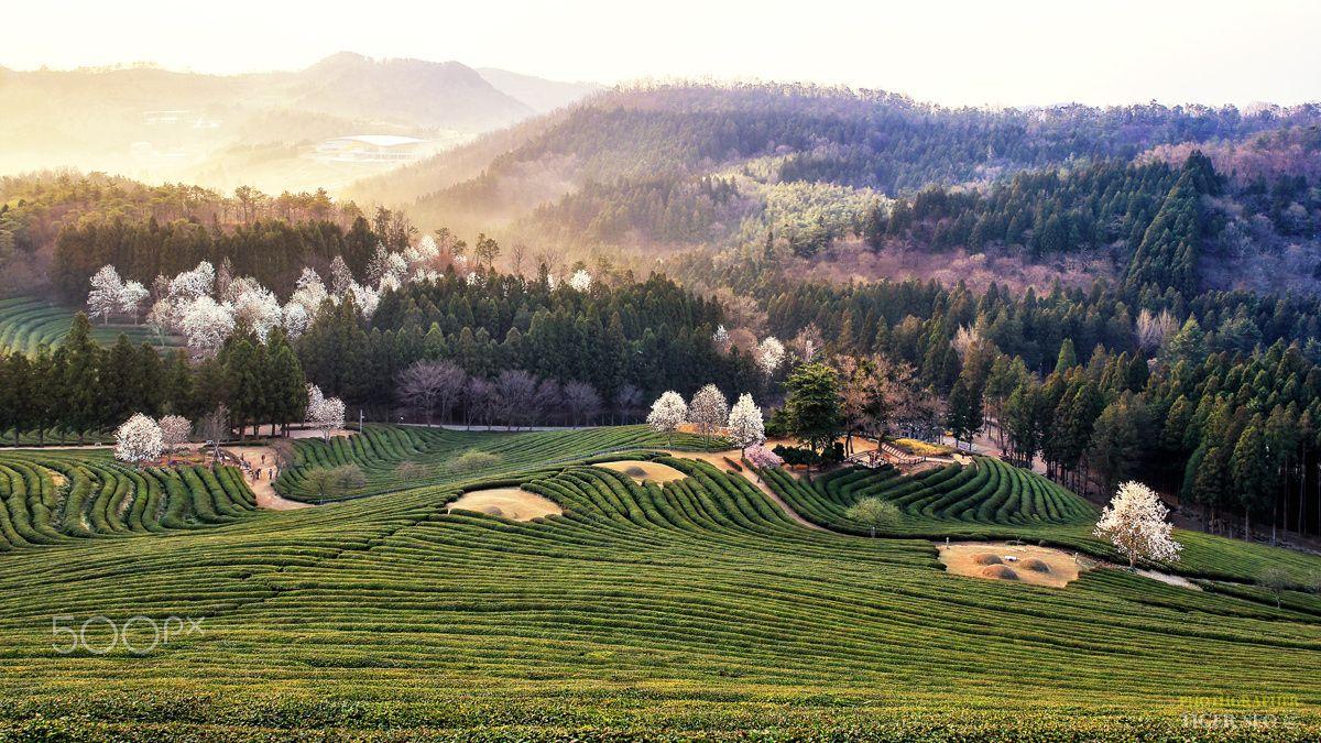 Morning of farmland - Daehan green tea farmland in Bosung, Korea.