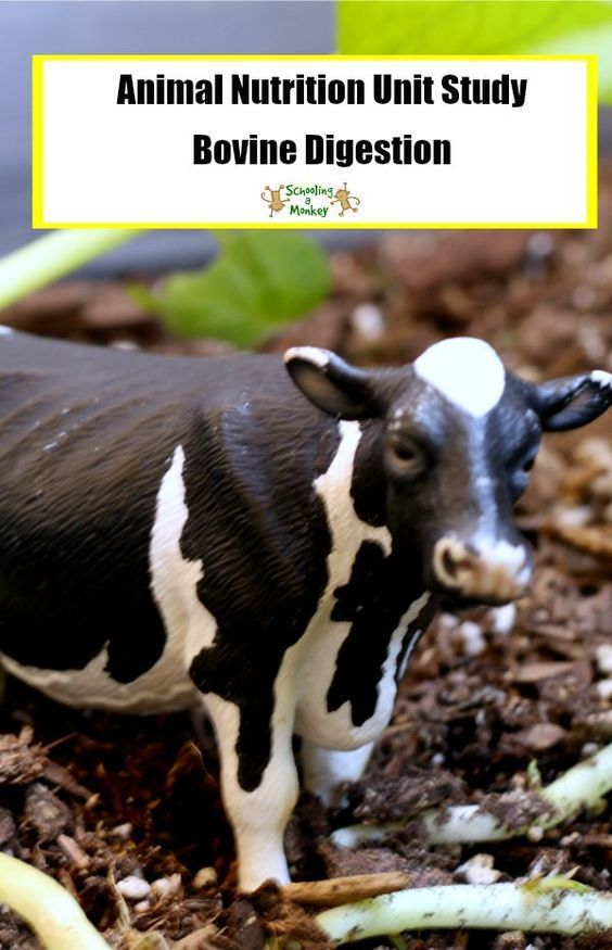 Animal Nutrition: How Cows Eat Grass (and why we can\'t) | Unit ...