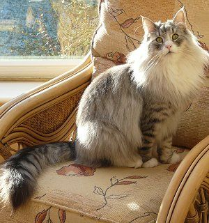 Norwegian Forest Cat Silver Mackerel Tabby With White Norwegian Forest Cat Forest Cat Norwegian Forest