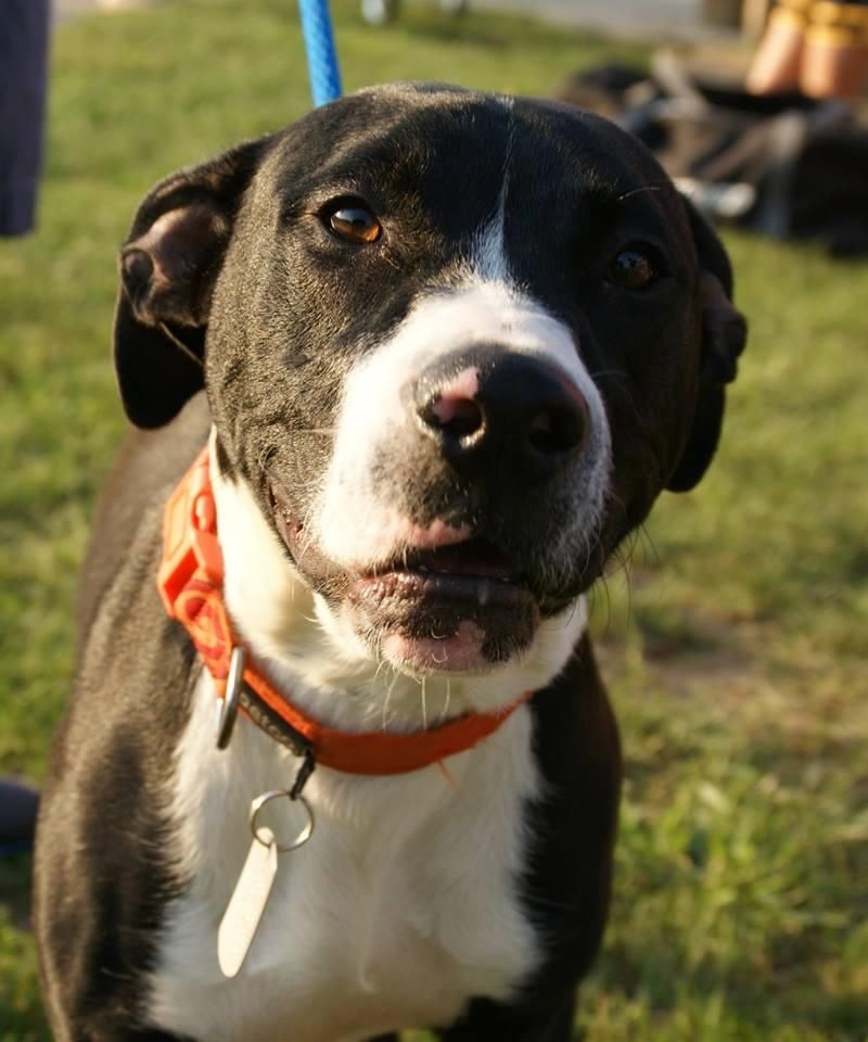 Adopt Angus on Pitbull terrier, Bull terrier mix, Dogs