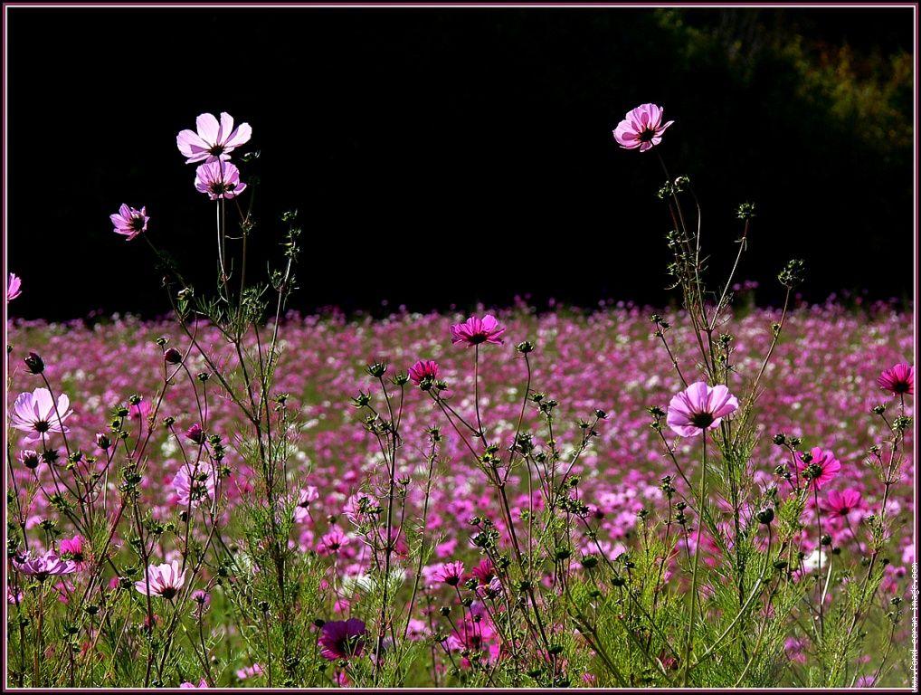 fleur cosmos champ jachere cosmos fleurs plantes pinterest plantes jardins et fleur. Black Bedroom Furniture Sets. Home Design Ideas
