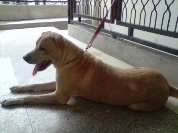 Lab Pitbull Mix Male Dog For Sale Lahore Animals Samanabad
