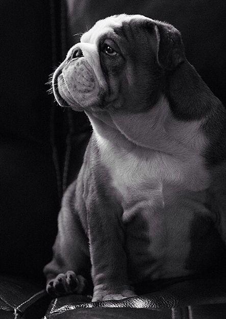 Beautiful Bulldog Hamil Dogs Cute Dogs Bulldog Puppies