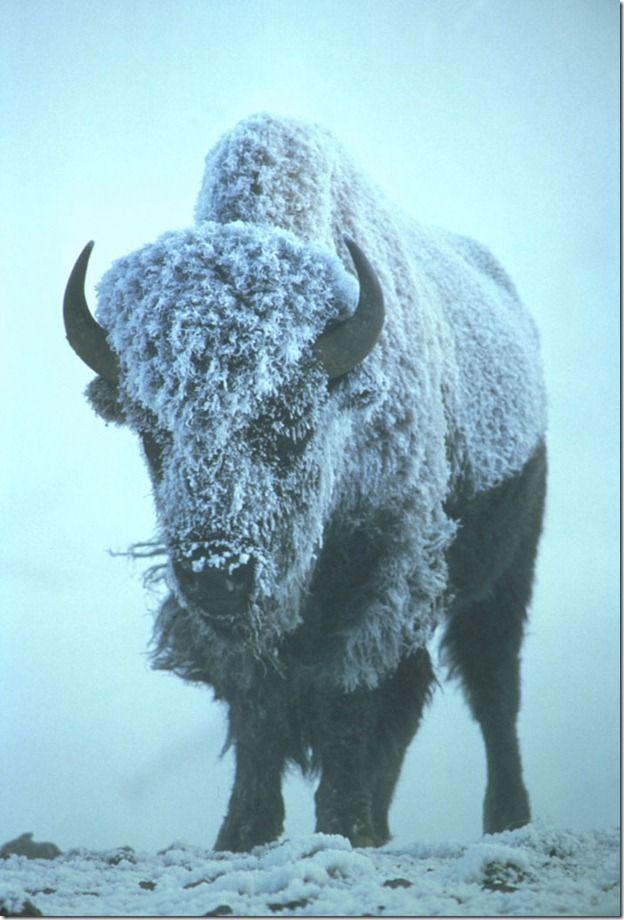Life-style-level-Wild-buffalo_thumb