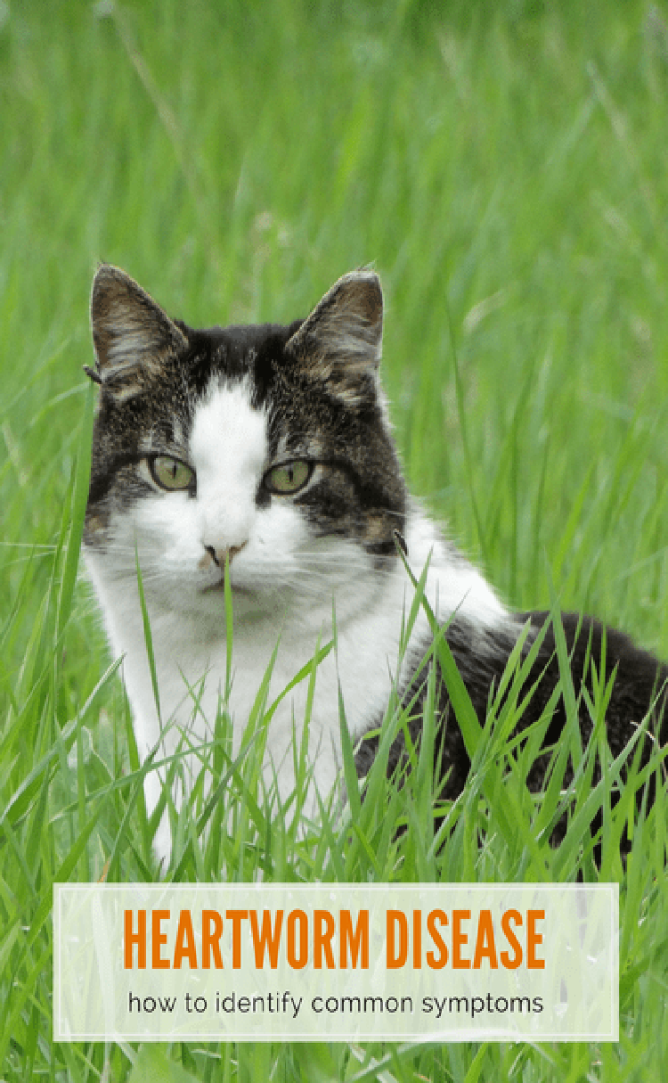 Heartworm Disease in Cats Is Your Cat at Risk? Sick