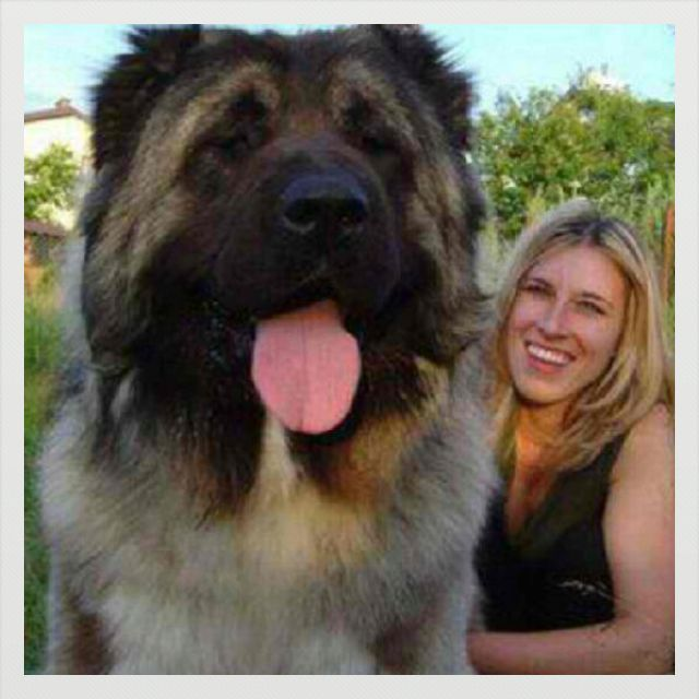 Tibetan Mastiff - the dog that could be a bear