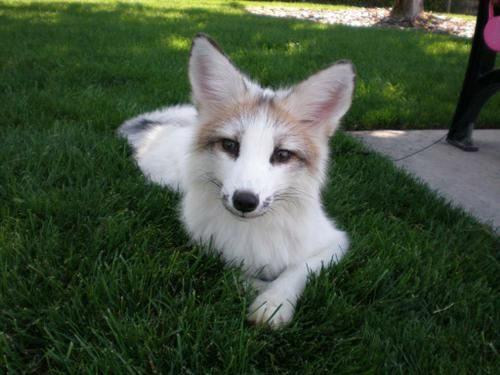 The Canadian Marble Fox I Just Found Out That First Memes Pet Fox Domestic Fox Animals