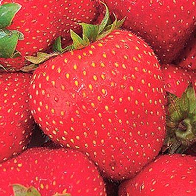 Festival Strawberry Strawberry Plants Strawberry Plants For Sale Strawberry