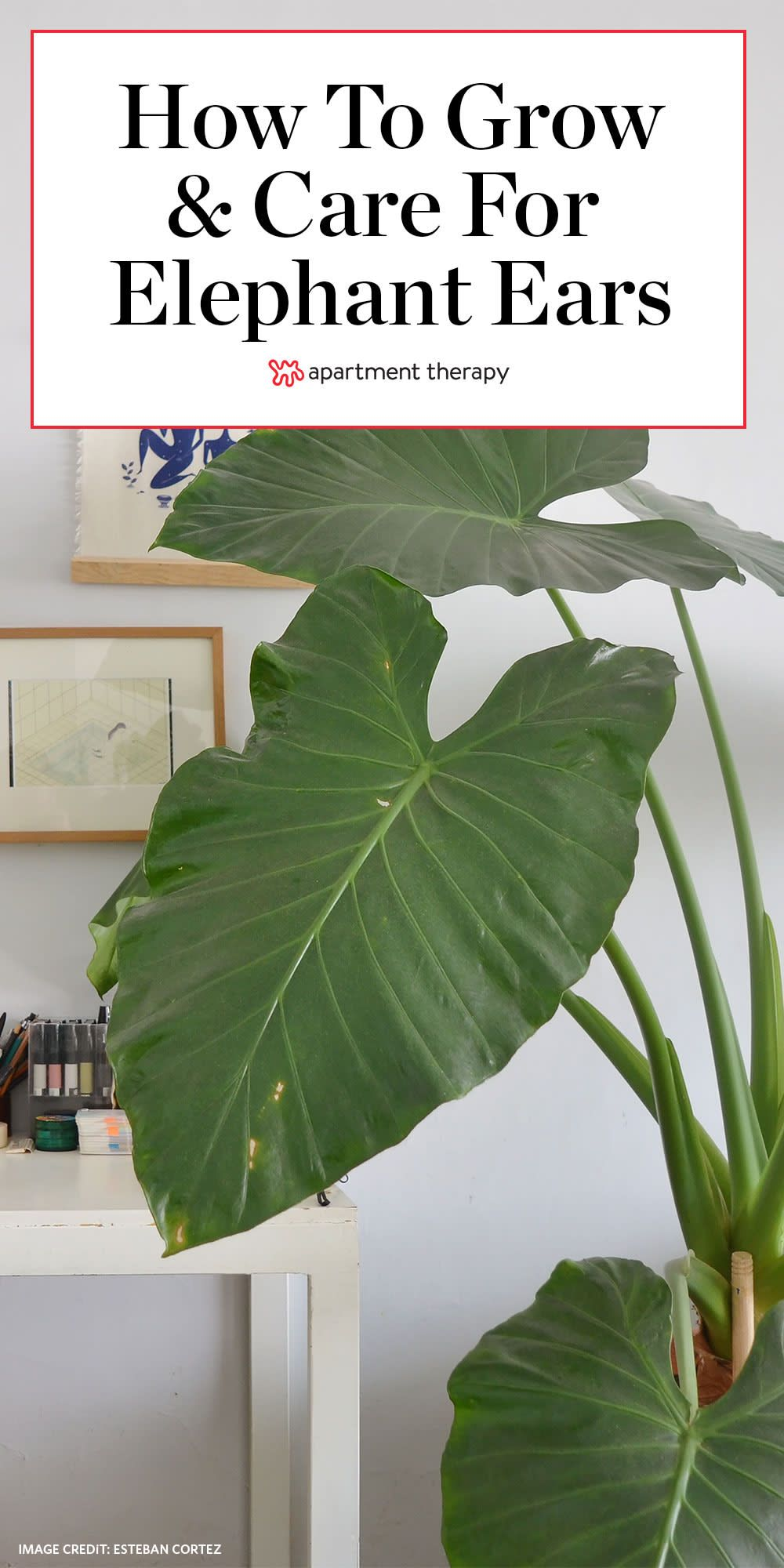 Elephant ears are like monstera but on some serious